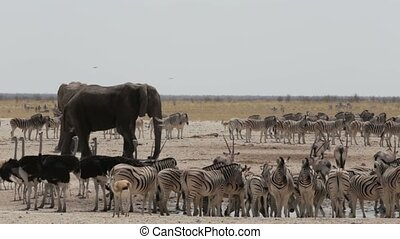 Crowded waterhole with Elephants, zebras, springbok and orix...