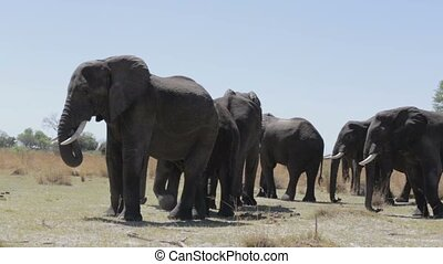 herd of African elephants in african bush going out from...