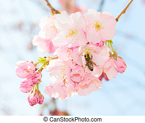 Bee pollinating springtime blooming orchard fruit garden -...