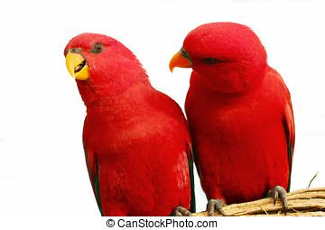 Red Parrot - Two red parrots sitting together on a branch