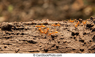 Red ants on the tree - View of hardworking red worker ants...
