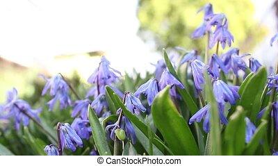 Blue bells Spring flowers, close up - Fresh Spring Bluebells...