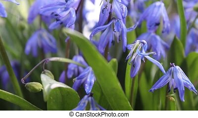 Blue bells Spring flowers, close up - Fresh Spring Bluebells...