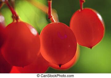 Viburnum - Fruits of Viburnum