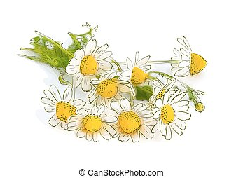 Chamomile isolated on white background.