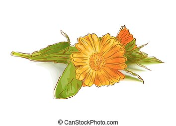 Calendula flowers on a white background