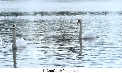 White swans in the river,