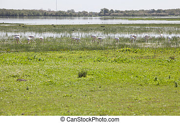 Greater flamingos on Donana - Flamingos on marshland chose...