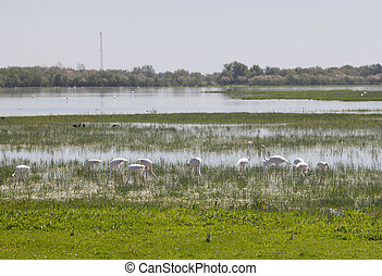 Greater flamingos on Donana - Flamingos on marshland chose...