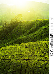 Tea Plantations - Tea Plantations at Cameron Highlands...