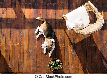 Dog on a terrace - Dog lying on a wooden terrace of a family...