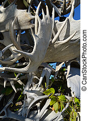 Moose Antlers - Alaskan collection of moose antlers