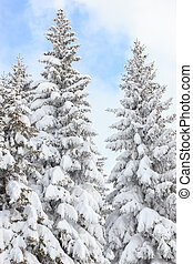 fir trees covered with snow on a winter mountain on clear sunny
