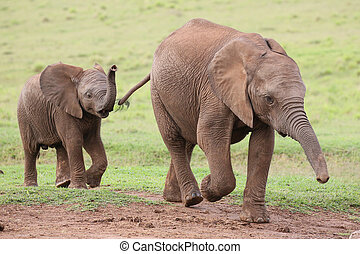Young African Elephant Friends - Young family of African...