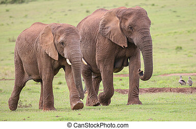 African Elephant Herd