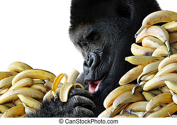 Big hungry gorilla eating bananas - Big hungry gorilla...