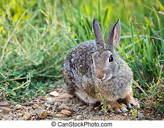 Western Cottontail - A western cottontail in a field.