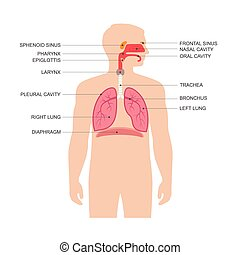 human respiratory system anatomy, vector medical nose...