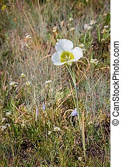 Mariposa Lily - A mariposa lily in a Wyoming meadow.
