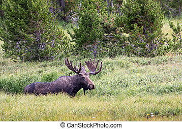 Bull Moose - A bull moose in a sub alpine meadow.