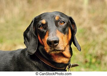Dachshund - A thoughtful look young and handsome black...