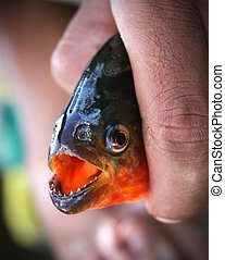 piraña, Amazonas