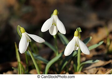 Snowdrops - Snowdrop growing in the woods Spring flower