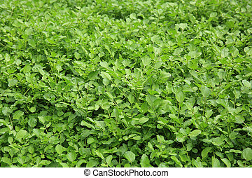 watercress plants in growth at garden