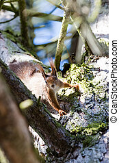 attentive squirrel - squirrel sitting in the branches of a...