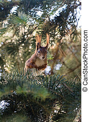 squirrel in a pine - squirrel sitting in the branches of a...