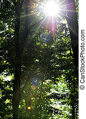 Sunlight breaking through trees in forest (lens flare) in...