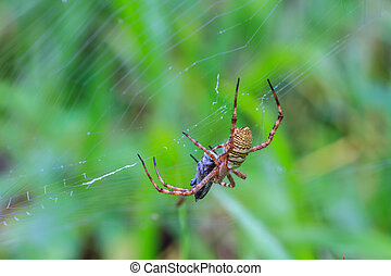 multicolored Spider with Prey - wasp spider Argiope...