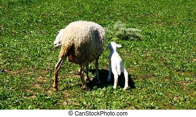 Newborn lamb with his mother 4K