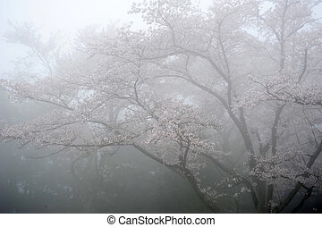 cherry blossom tree with the fog