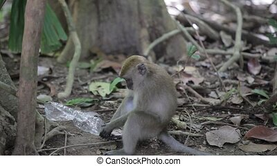 Monkey play with plastic bottle, in the wild
