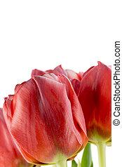 blumengebinde, Tulpen,  closeup, rotes