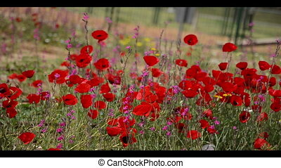 red flowers (anemones) - red anemones waving in the wind