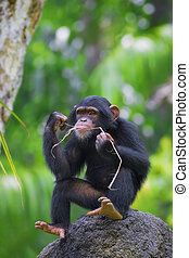 Common Chimpanzee - Young Common Chimpanzee sitting in the...