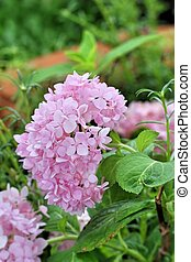 hydrangeas pink flowers in the nature