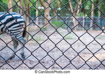 zebra in the zoo - Portrait of a young zebra in the zoo