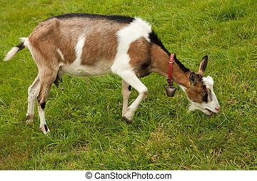 goat on the grazing land - goat eating grass on the grazing...