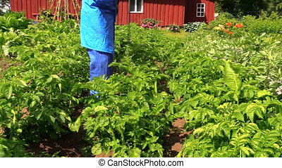 man fertilizer potato - farmer in blue clothes spray liquid...