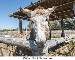 granja, burro
