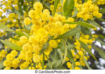Acacia dealbata flower (silver wattle, blue wattle or...