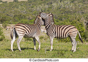 Zebras rubbing heads - Two zebras showing some affection...