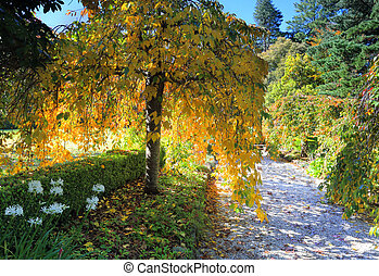 Weeping golden yellow foliage in Autumn - A beautiful...