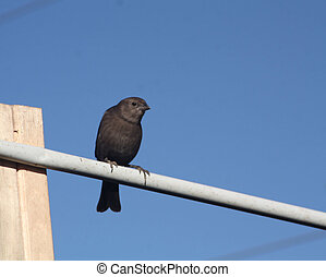 Brown-Headed, Cowbird, hembra