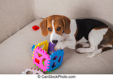 Beagle playing on sofa