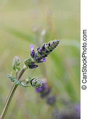 Lavender Bud - Soft lavender bud in the field Focus to tip