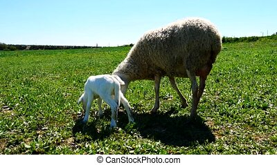 Newborn lamb with his mother (4K)